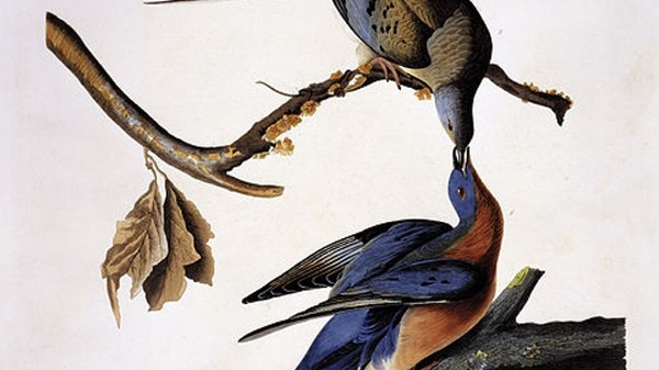 Extinct Passenger Pigeons Are Making a Comeback