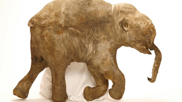 Two Mammoth Calf