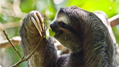 How Sloth Fur is Going to Revolutionize Medicine