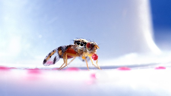 A Bioengineered Solution to Crop-Killing Fruit Flies: Turn Them All into Dudes
