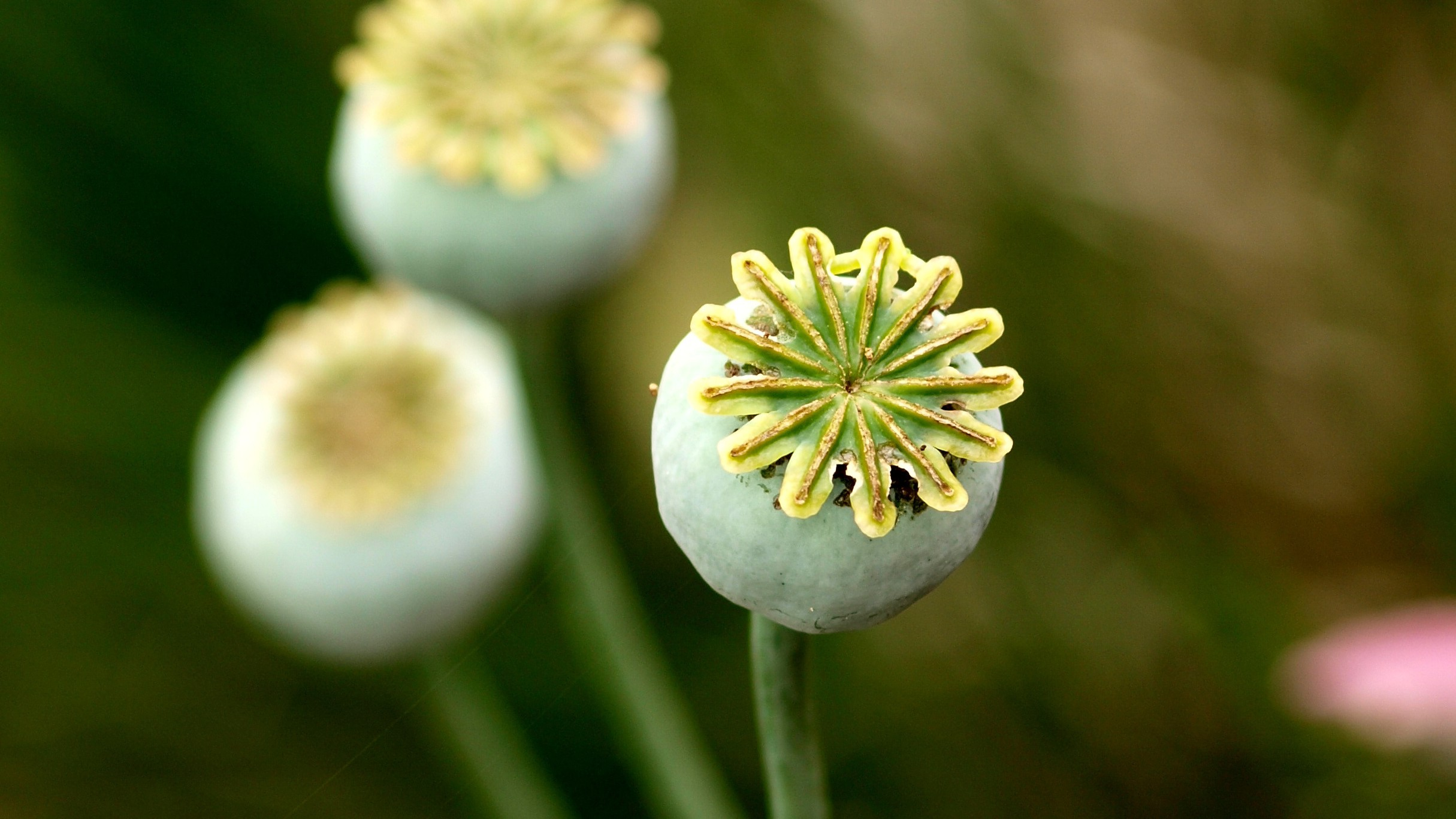 Bioengineered Opiates Don't Require Poppy Plants