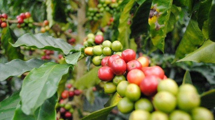 Now That We Know Coffee's Genome, Your Morning Buzz Will Be Genetically Modified