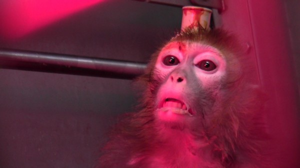 Activists Unveil Graphic Video of Monkey Brain Implants at Cybernetics Institute