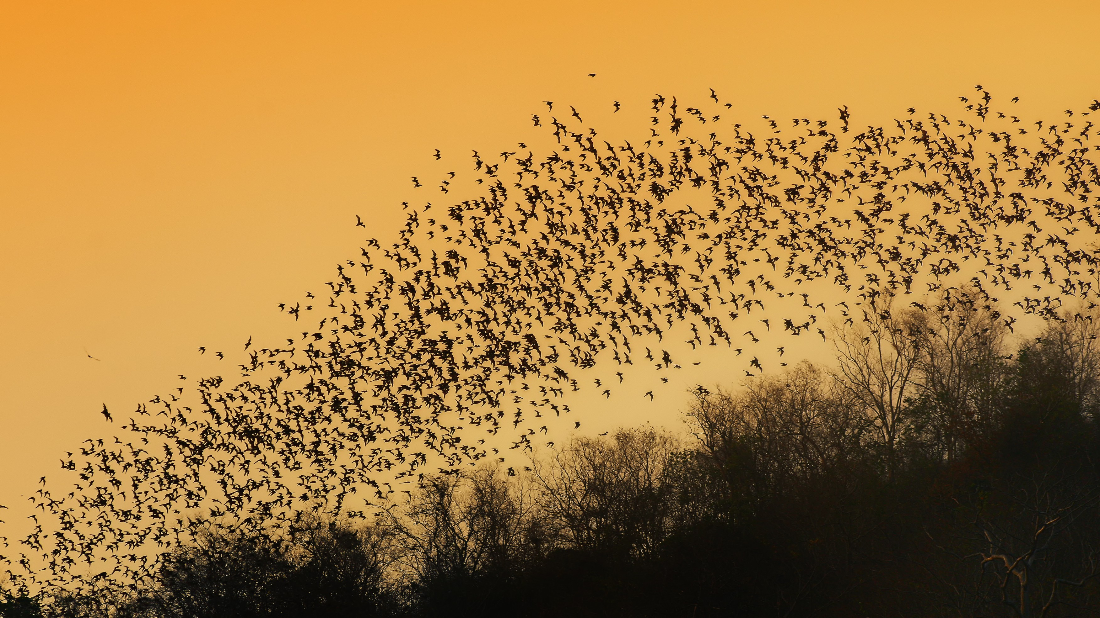 Wind Turbines Kill Hundreds of Thousands of Bats, and Now We Know Why