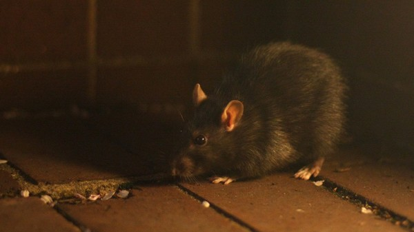 Here Are All the Poop-Inducing Pathogens Carried by NYC's Rats