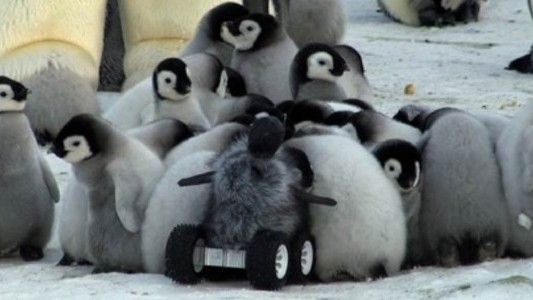 Undercover Robot Baby Penguins Are the Future of Ecology