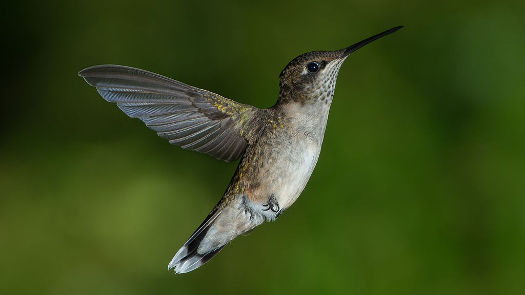 Watch This Simulation of How the Hummingbird Flies