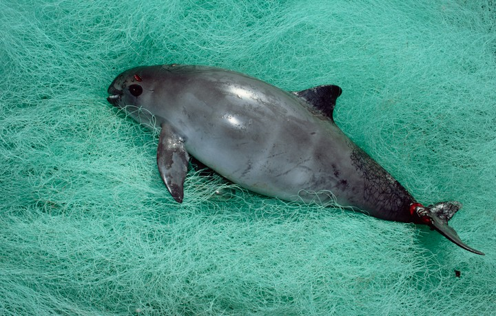 The Race to Save the Vaquita, the World's Most Endangered Marine Mammal