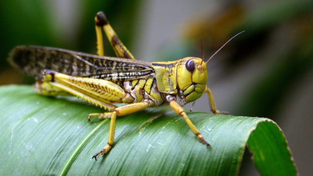 Image result for Locusts