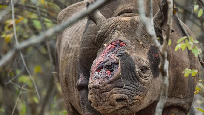 The Rhino Horn Crisis and the Darknet