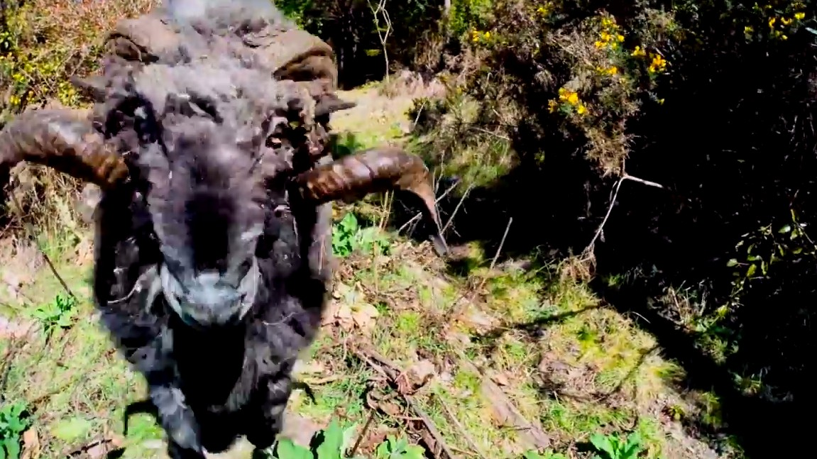 Here Is a Ram Headbutting a Drone