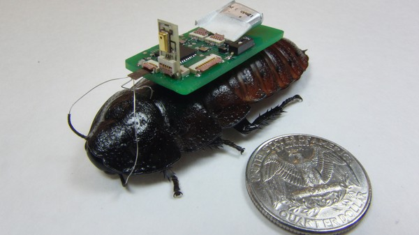 Cyborg Cockroaches with Microphone Backpacks Could Be Used in Rescue Operations