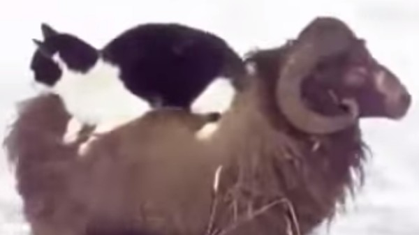 'Cat Rides a Sheep' Is the Best YouTube Video