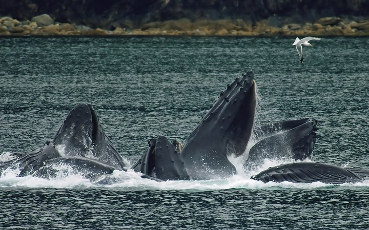 How Whales Geoengineer the Oceans for Us