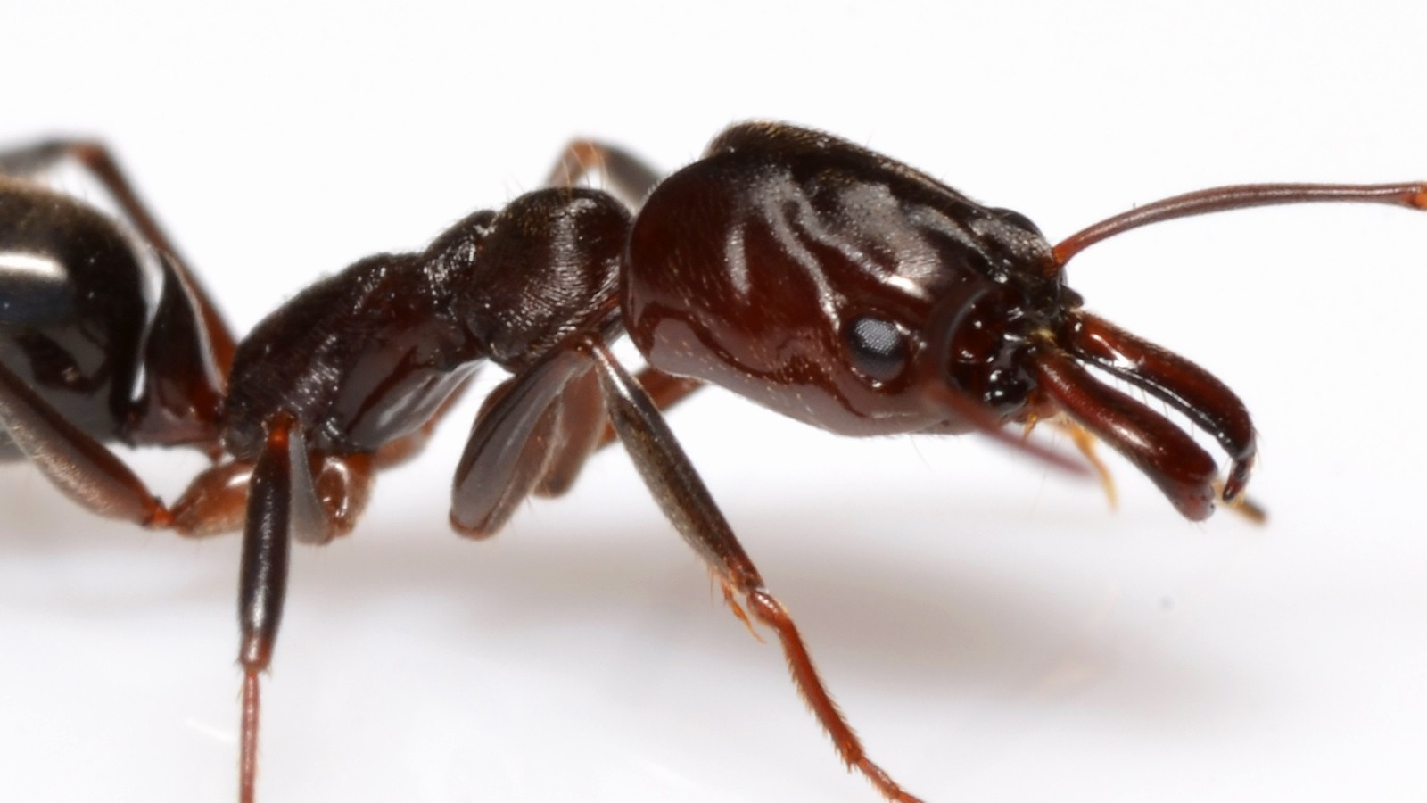 watch this ant use its powerful jaws to catapult away from danger
