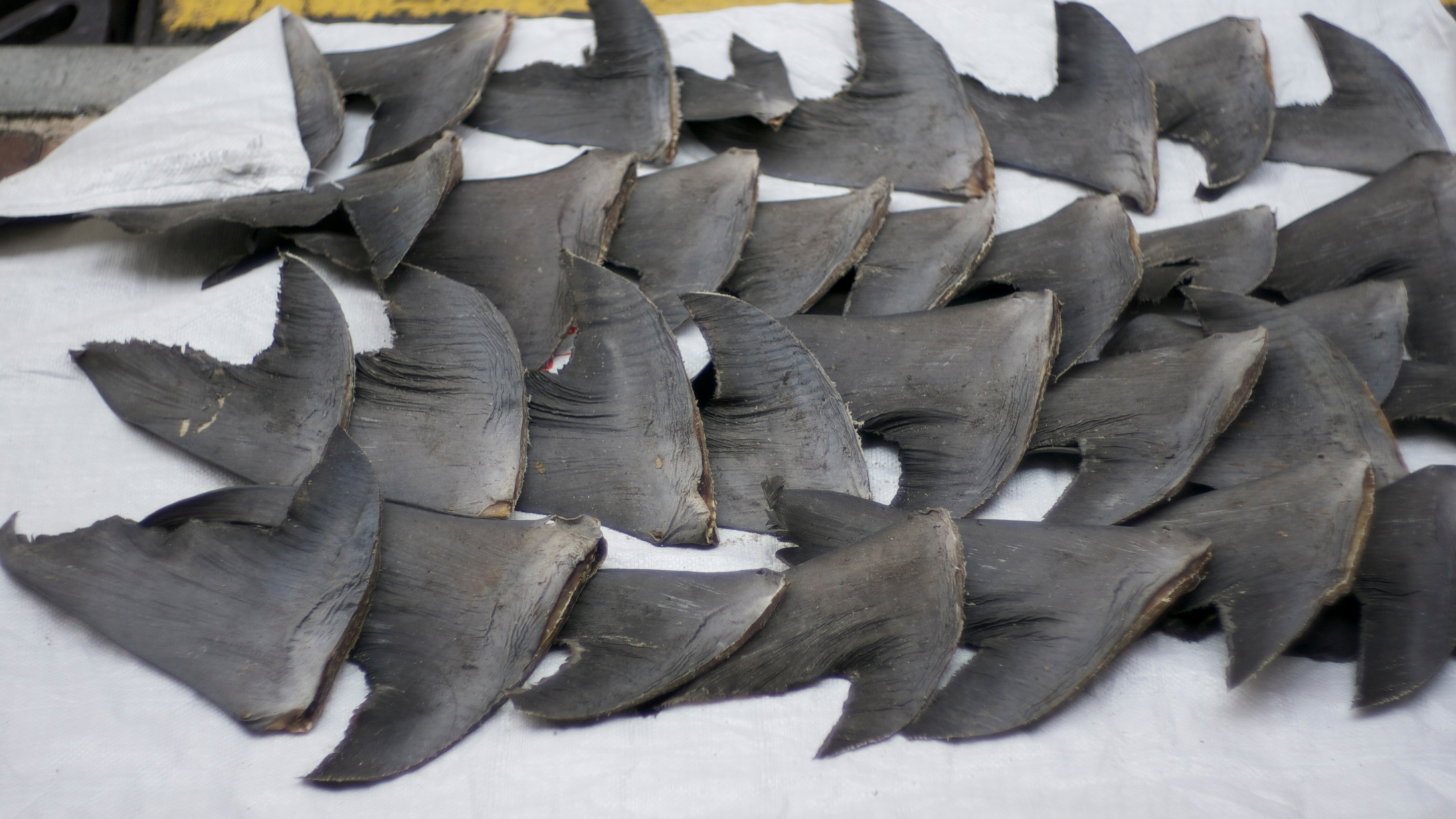Image result for Shark Fins finning