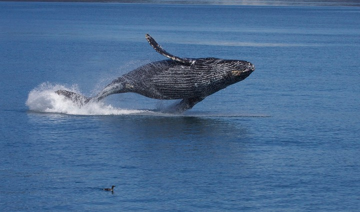With a Thousand Times More Cells Than Humans, Why Don't Whales Get Cancer More?