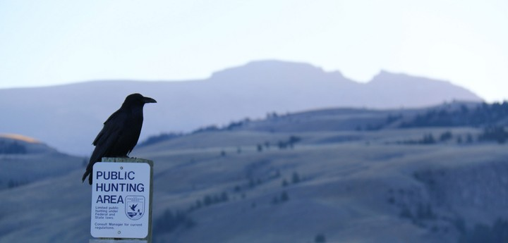 Ravens Can Imagine They're Being Spied On, Study Finds