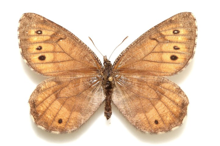 This Newly Discovered Alaskan Butterfly Has Antifreeze in Its Blood