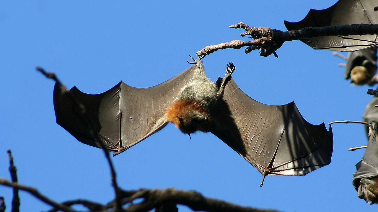 plague of bats holds australian town hostage with aerial