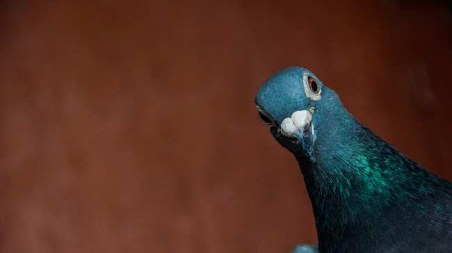 Avian Athletes Who Start Their >> This Guy Is The Lance Armstrong Of Pigeon Racing Vice