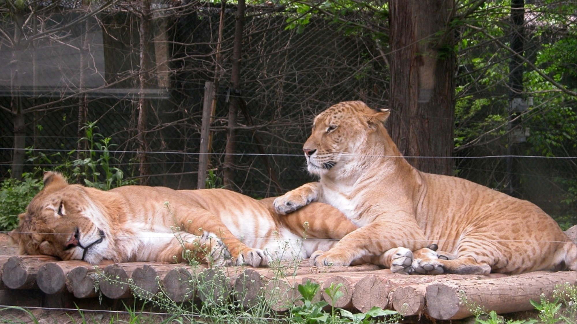 This Is Why Ligers, Mules and Other Hybrid Animals Can't Reproduce