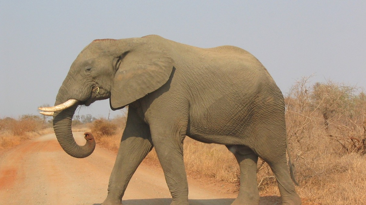 As elephant populations drop we learn even their footsteps serve a purpose motherboard - Image elephant ...