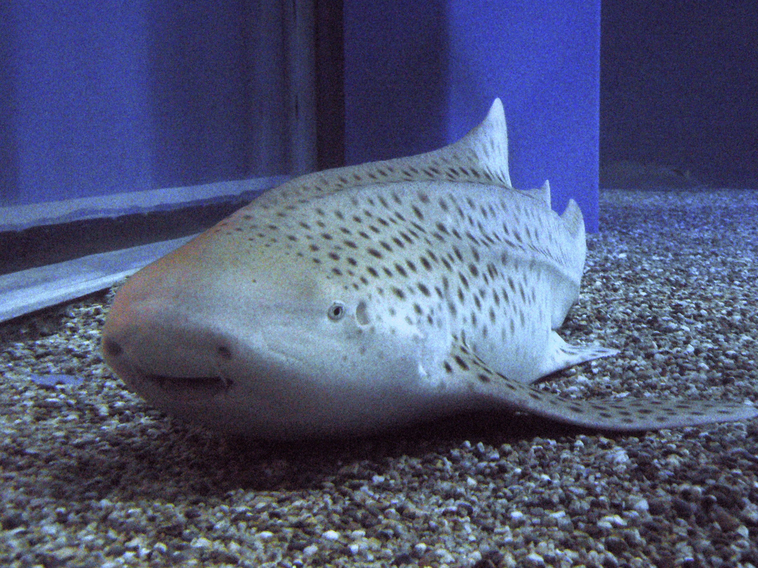 Female sharks asexual reproduction advantages