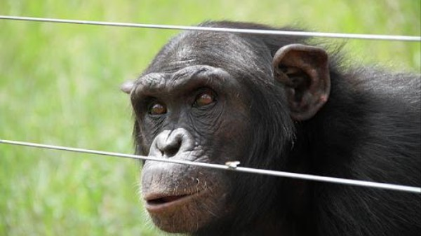 Are Chimps People? A Major Animal Rights Lawsuit Says Yes
