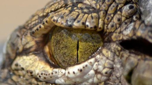 Why Dinosaur Fans Should Be Excited That Crocodiles Use Tools