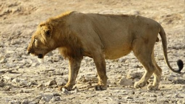 Two of Your Favorite Big Cats Are Probably Going to Be Extinct Soon