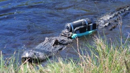 Alligator Home Movies Could Help Save the Species