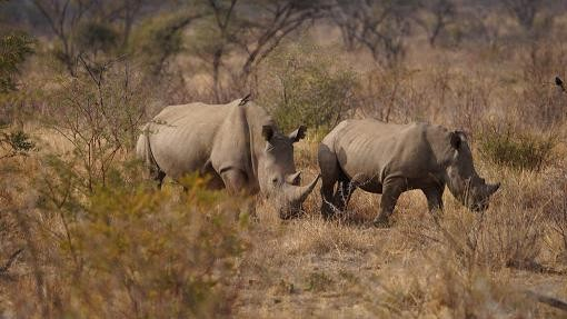 South Africa's Rhinos Were Poached in Record Numbers for the Sixth Year Straight