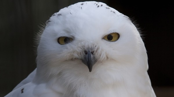 Invading Snowy Owls Are Leaving a Trail of Lemming Corpses in Their Wake