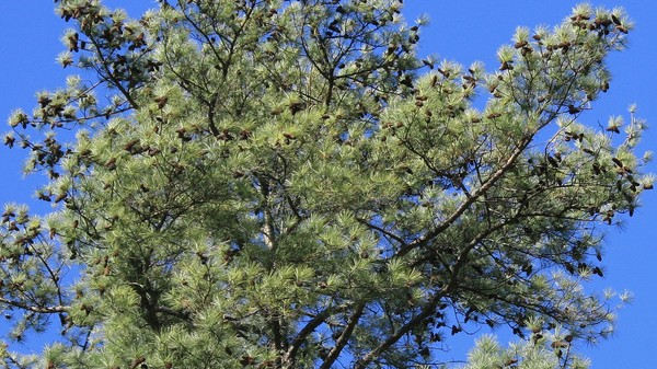 The Largest Genome Ever Sequenced Belongs to a Tree