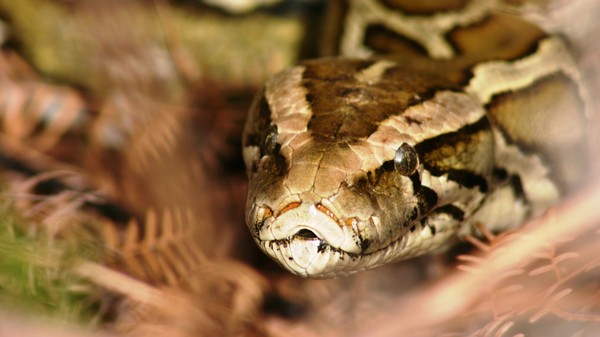 Snake Farms Could Tackle the Billion Dollar Black Market for Python Skin