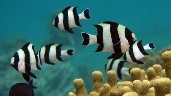More Evidence that Ocean Acidification Turns Fish Into Bait
