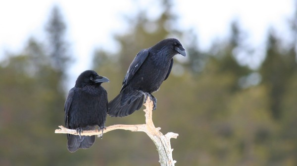 Ravens Are Smart Enough to Understand Other Birds' Social Interactions