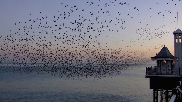 A Flock of Birds Flows Like a Liquid and Shatters Like a Solid