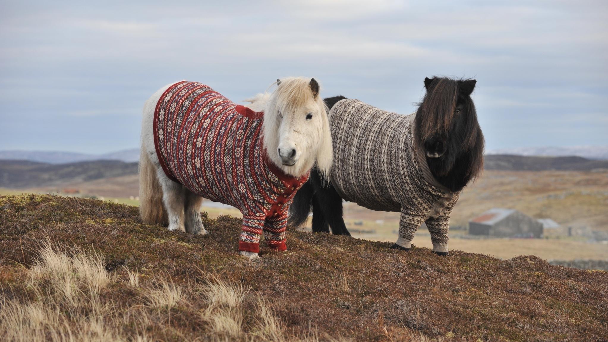 Scottish Ponies Wearing Cardigans? Scottish Ponies Wearing Cardigans.