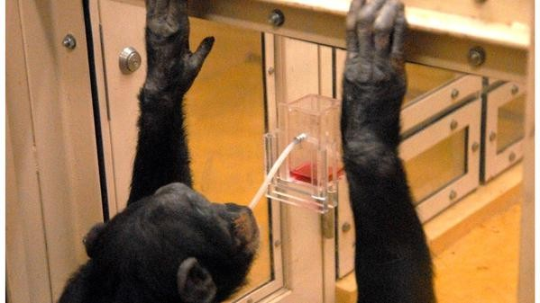 Monkeys, Not Just Humans, Can Teach Each Other Better Ways to Use Tools