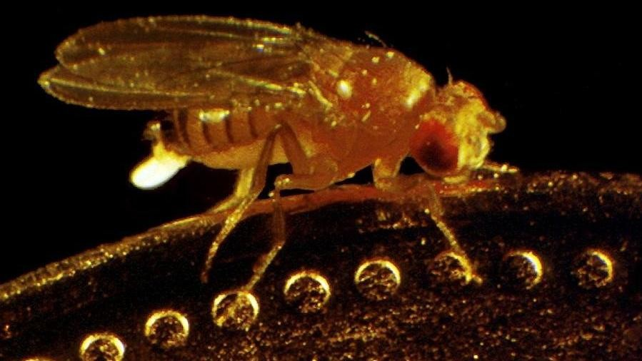 Fruit Flies Medicate Their Kids with Alcohol