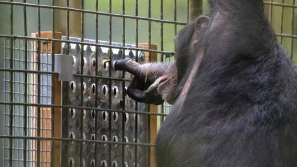 Chimpanzees Enjoy Solving Puzzles Just as Much as Humans