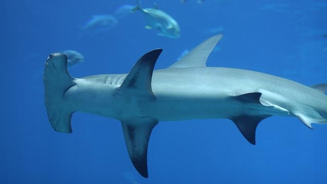 Between 63 and 273 Million Sharks Are Killed Worldwide Each Year