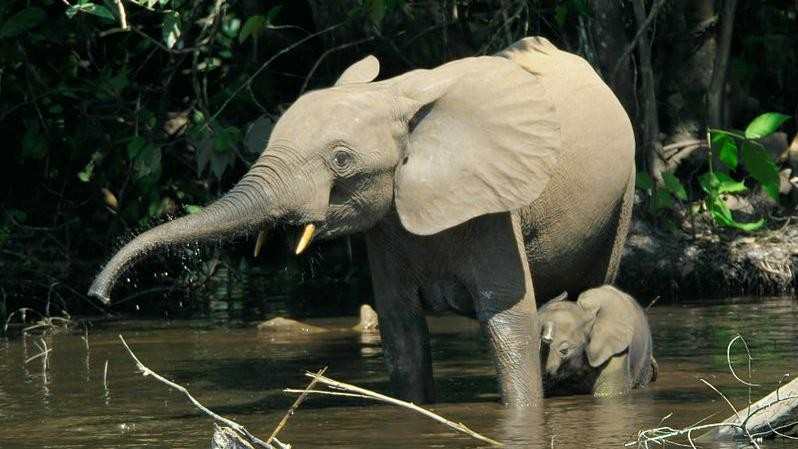 Two-Thirds of Africa's Forest Elephants Were Killed in the Last Decade