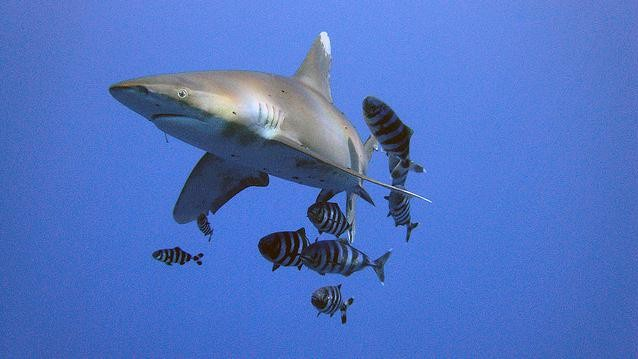 Five Threatened Shark Species Will Receive Protections After 20 Years of Trying
