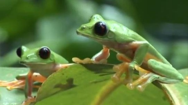 Watch Hundreds of Gliding Leaf Frogs Party (and Mate) in Costa Rica