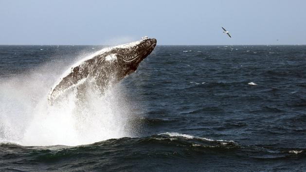 Australia Is Taking Japan to Court to Stop Whaling