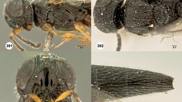 A Whopping 71 New Species of Parasitoid Wasps Have Been Described