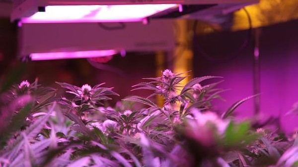 Will LEDs Uproot the Weed Business?